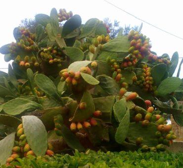 Włoska Apulia - w cieniu dorodnej opuncji figowej